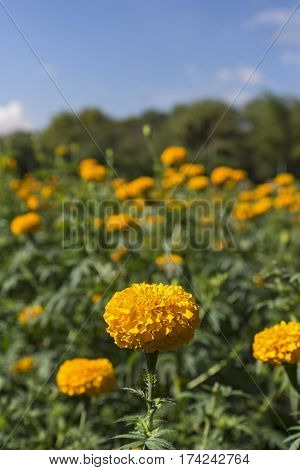 Marigold In The Garden. Norther Of Thailand. (selective Focus)
