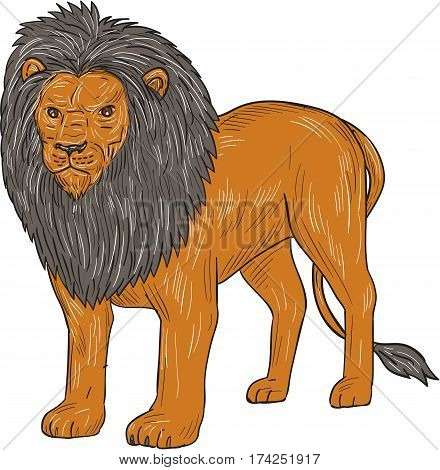 Drawing sketch style illustration of a lion standing hunting surveying for prey viewed from front on isolated white background.