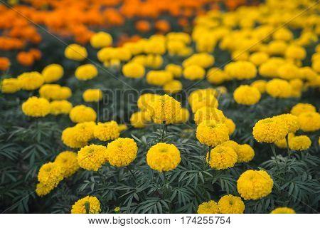 Yellow Marigolds flower. Flower. Beautiful yellow flower in the garden