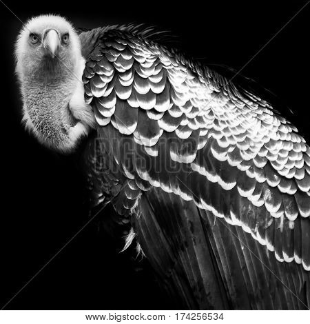 Portrait of a vulture in black and white