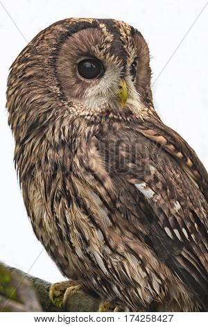 close up of a tawny brown owl perched on a branch and looking right