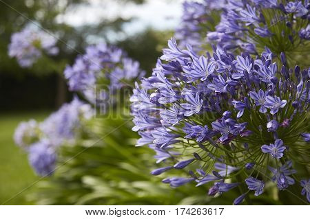 dwarf agapanthus blowing in the breeze in the garden of a country estate