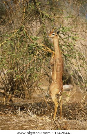 Gerenuk (Litocranius walleri) Feeding on Acacia bush in the Samburu National Reserve Kenya Africa. Native to eastern and central Ethiopia south through Somalia and Kenya to the western side of the Rift Valley in northern Tanzania poster