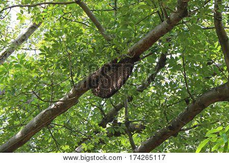 Big Bee nest (beehive) on big tree in