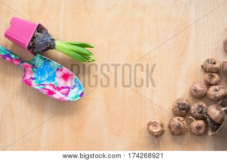 Gardening concept. Seedling hyacinth garden tools tubers-bulbs gladiolus. Copy space. Top view. Spring background.