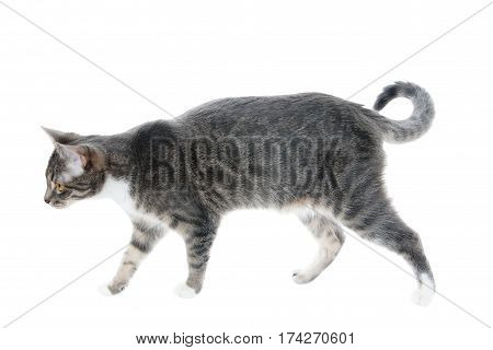 silver grey tabby cat on the prowl, isolated on white background