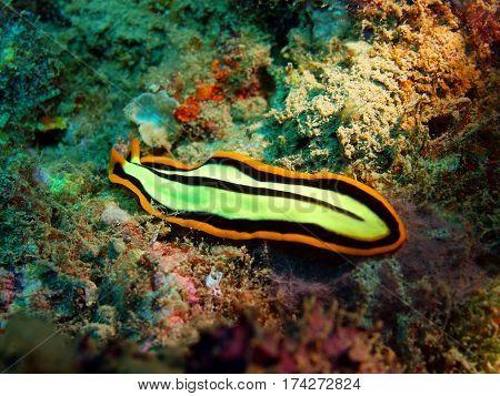 The surprising underwater world of the Bali basin, Island Bali, Lovina reef, flatworm