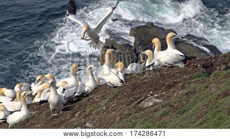 Northern gannets on a big cliff rock in Aberdeenshire, Scotland