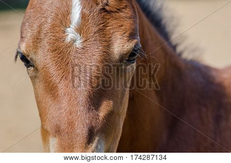 A brown foal close up portrait at farm
