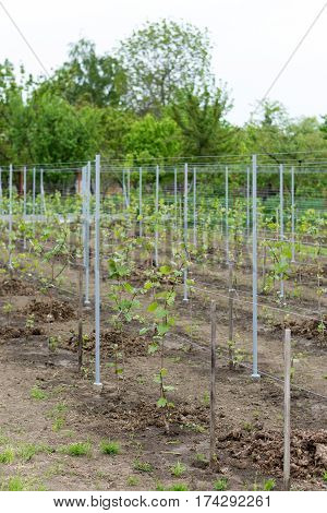 Young Vines In Domestic Production