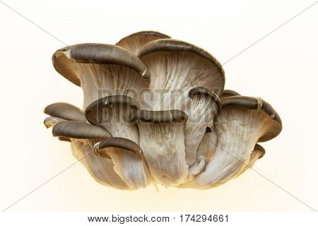 Oyster mushrooms on a white background. Ripe bunch of mushrooms
