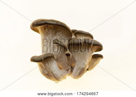 The mycelium, a bunch of fresh shiitake mushrooms on white background. Oyster mushrooms on a white background. Ripe bunch of mushrooms