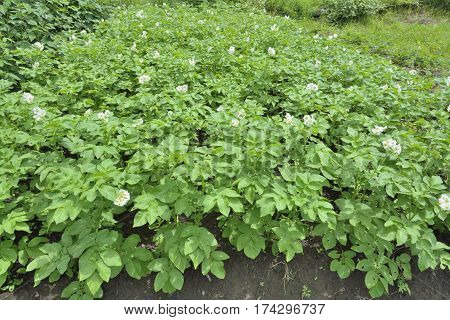 A close up of the blooming plants of potato.