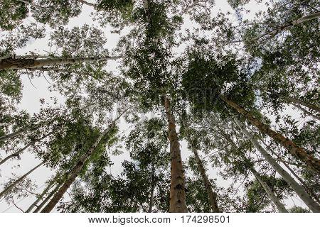 Trees In Brazilian Forest