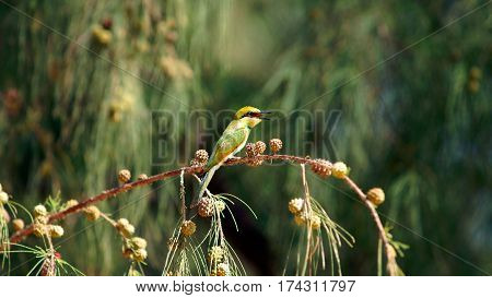Yellow green Bee eater little bird sitting on a branch in the sun, Vietnam.
