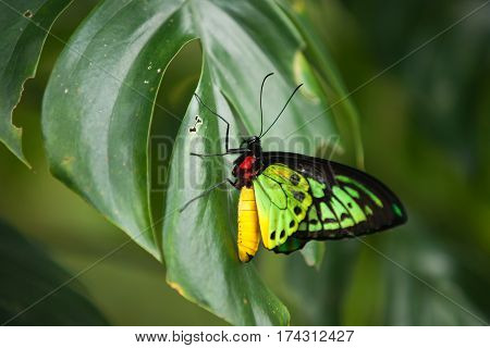 Colorful red yellow and green butterfly sitting on a green leaf spreading its wings.