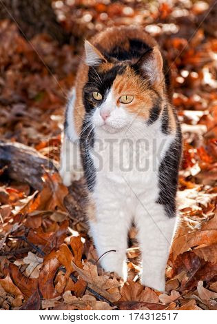 Beautiful calico cat in autumn leaves, back lit by beam of sunlight