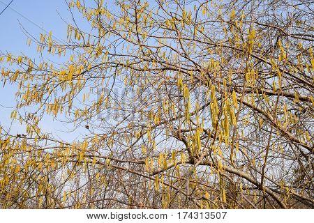 Flowering Hazel Hazelnut. Hazel Catkins On Branches.