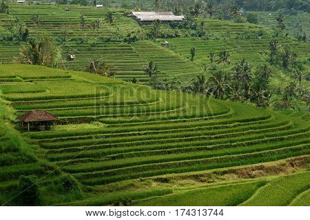 Green rice field hill with a small brown cottage at midday in Bali, Indonesia