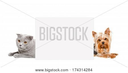 Cat Scottish Fold and Yorkshire terrier, peeking from behind banner, isolated on white background
