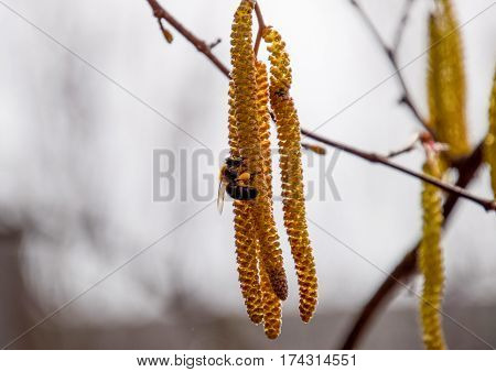 poster of Pollination by bees earrings hazelnut. Flowering hazel hazelnut. Hazel catkins on branches