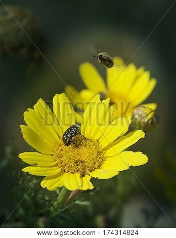 European honey bee (Apis mellifera) gathering pollen, Honey Bee harvesting pollen from yellow Blossom, honeybee, honey bee