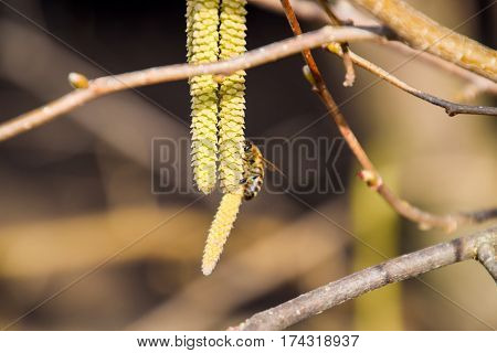 Pollination By Bees Earrings Hazelnut. Flowering Hazel Hazelnut.