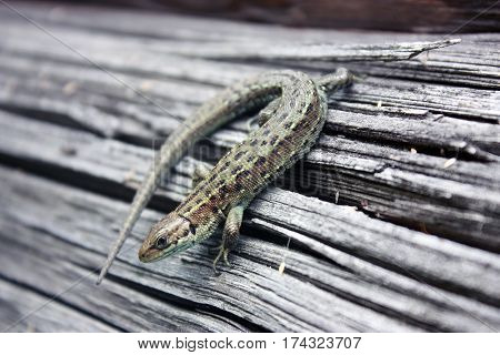 Lizard Reptile On A Wooden Board