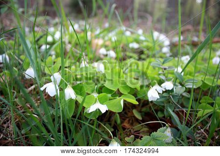 Oxalis Acetosella, Spring Flower Forest Glade With White Buds