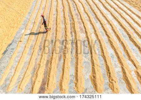 Drying Paddy In The Sun