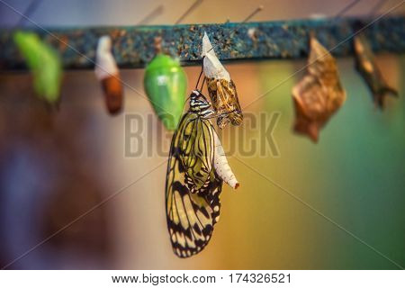 close up on idea leuconoe butterfly being born
