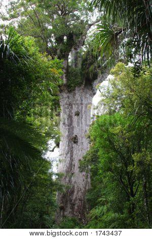 Tane Mahuta (Nz Kauri Tree)