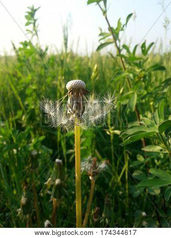 Close up of dandelion (Taraxacum officinale) on meadow background
