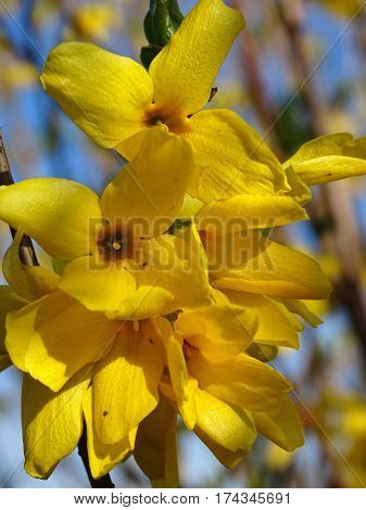 Image of blooming Forsythia flowers over sky background