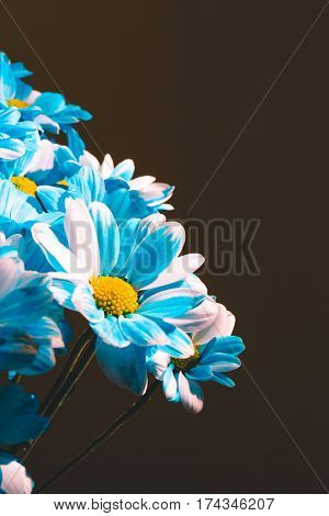 Photo of the Close up Flowers background. Chrysanthemums bouquet. Mother's and Womens Day. Copy space. Blue color