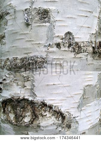Image of a white birch bark close-up