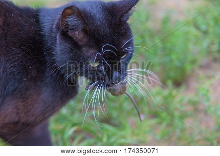The cat caught a mouse and holds in teeth. Cat on the background of green grass.