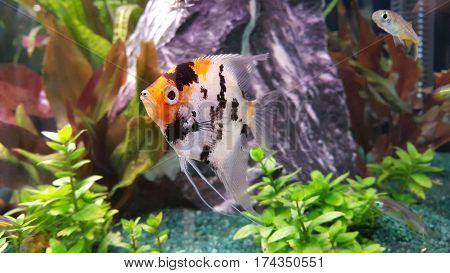 Portrait of freshwater angelfish (Scalare Pterophyllum scalare) orange black white silver color