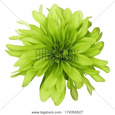 Dahlia yellow-green flower white background isolated with clipping path. Closeup. with no shadows. Nature.