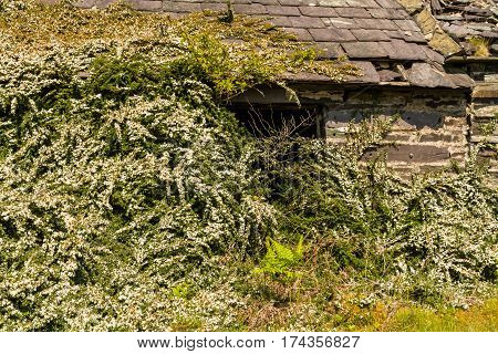 Bushes taking over a derelict slate building.