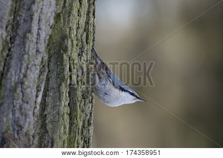 Nuthatch clung to the bark of a tree and carefully and cautiously looks around