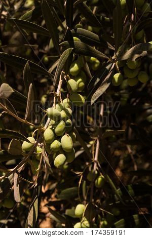 Immature olives growing in a bush Italy