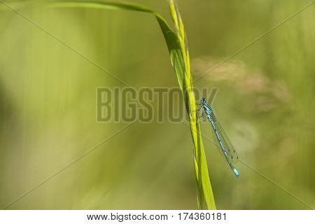 Azure Bluet (Coenagrion puella) male resting on a Grass-Stalk