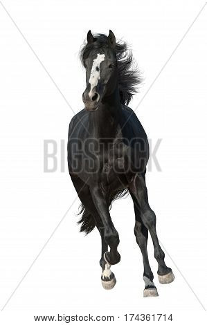 Beautiful black horse run gallop isolated on white background