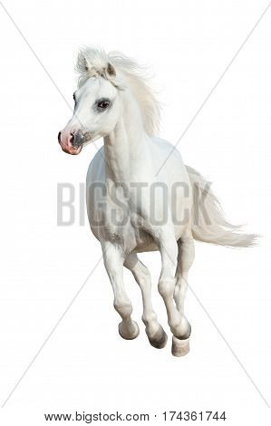 White pony run gallop isolated on white background