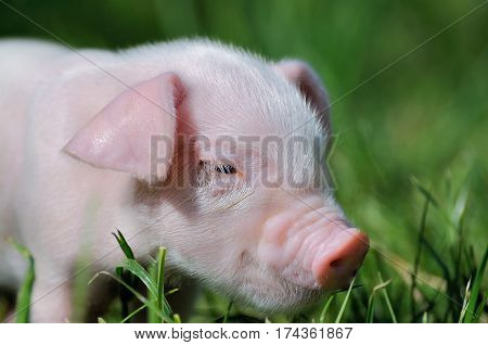 Small piglet on a green grass .