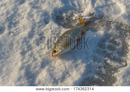 The roach - fat catch of winter fishing lying on a surface of frozen river Dnepr