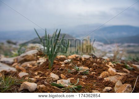 A small growing pine sprout at the clay ground and stones at the mountains of Jaen Andalusia Spain.