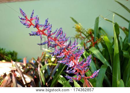 A view of an aechmea dichlamydea var trinitensis flowers
