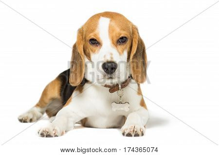 Puppy Beagle 7 months old isolated on white